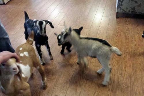 goats 005